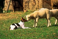 Jack Russell Terrier and Lamb