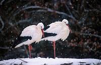 Ciconia ciconia / white stork