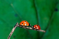 two ladybirds on twig / Coccinellidae