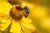 Honey Bee,Apis mellifica,Germany,collecting pollen