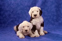 Bobtail - two puppies