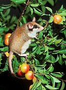 garden dormouse - on apple tree / Eliomys quercinus
