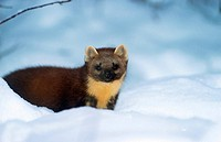 martes martes / European pine marten in the snow