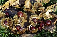 Sweet chestnut Castanea sativa  Ripe sweet chestnuts inside their casing