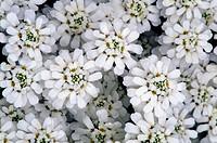 Candytuft flowers Iberis sempervirens