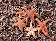 asteroidea / seastars , seafishes