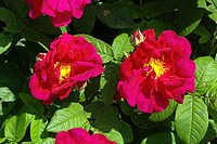 Apothecary´s roses Rosa gallica var  officinalis