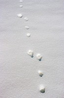 track of blue hare / mountain hare in snow / Lepus timidus