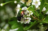 rose chafer on flower / Cetonia aurata