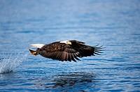 bald eagle / Haliaeetus leucocephalus