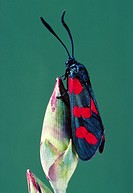 Moth with warning colours  A six-spot Burnet moth Zygaena trifolii perched on the bud of a carnation plant  The moth is coloured bright red and black ...