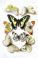 British butterflies, historical illustration of some of the butterfly species that were known to occur in the British Isles in the 19th century  The b...