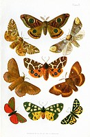 British moths, historical illustration of moth species that were known to occur in the British Isles in the 19th century  The moths here are: 1  Cinna...