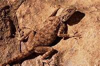 Agamid lizard Family Agamidae basking on a rock  This animal is an example of an ectothermic organism, one which controls its temperature using its ex...