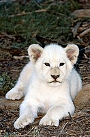 White lion cub Panthera leo krugeri  The white lion is only found in wildlife reserves in South Africa, where it is selectively bred  It is a rare col...