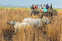 Indian rhinoceroses Rhinoceros unicornis  Tourists riding on Asian elephants Elephas maximus to see the rhinos  The Indian rhinoceros is found in Nepa...