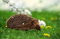 hedgehog - sitting on meadow / Erinaceidae