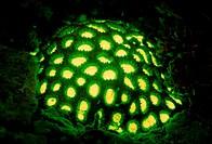 Fluoresce hard coral, Coral fluorescenc,