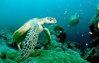 Two Green sea turtle, green turtles on a cleaner station, Chelonia mydas