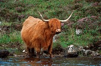 Highland Cattle - standing in water