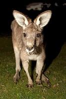 eastern grey kangaroo / macropus giganteus