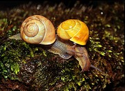 two snails - on a stone / cepaea nemoralis