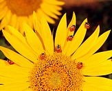 lady beetle - on sunflower / Coccinellidae