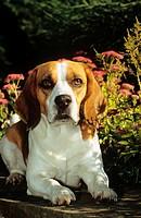 Beagle - lying in garden