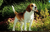 Beagle - standing in garden
