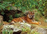 Sumatran tiger - lying / Panthera tigris sumatrae