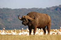 African buffalo in front of lesser flamingos / Syncerus caffer - Phoenicopterus minor