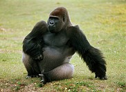 gorilla - sitting on meadow / Gorilla gorilla