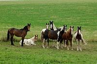 herd of Pinto horses