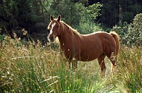 Irish Sport Horse - standing lateral