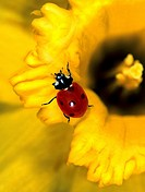 ladybird - on spring snowflake / Coccinellidae