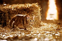 domestic cat in straw - creeping