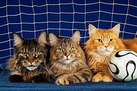 three Maine coons in goal with football