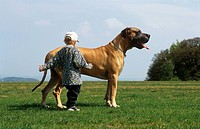 child and German mastiff - on meadow