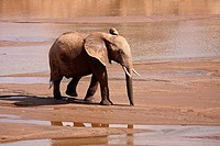 young African elephant - at river / Loxodonta africana