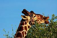 giraffe - munching leaves / Giraffa camelopardalis reticulata