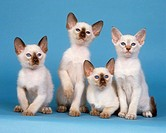 4 Siamese kittens - cut out