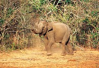 Wildlife, Elephant, Baby Indian Elephant,