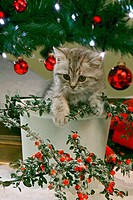 British Shorthair kitten - in flowerpot