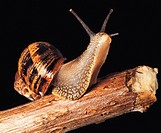 Wildlife, Invertebrates, Garden Snail,
