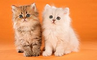 two Persian kittens - sitting