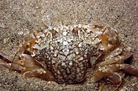 Marbled Swimming Crab (Liocarcinus marmoreus). Galicia, Spain