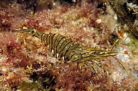 Common Prawn (Palaemon serratus). Galicia, Spain