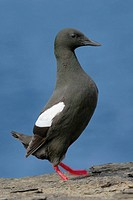 Black Guillemot (Cepphus grylle). Westray, Orkney Islands, Scotland