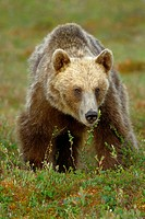 Brown Bear (Ursus arctos), female. Finland