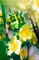Specie Light Yellow Rose Flower Duo. Rosa ´Canary Bird´.